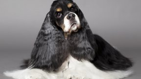 American Cocker Spaniel white black